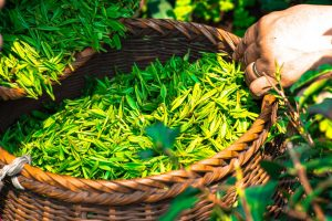 green tea selling
